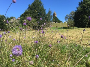 Bumblebees on scabious flowers at Avon Wildlife Trust's Brandon Hill Nature Reserve, with the Cabot Tower in the background.
