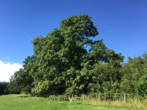 Beautiful Ash tree at the edge of a field on Folly farm nature reserve