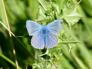 A male common blue butterfly
