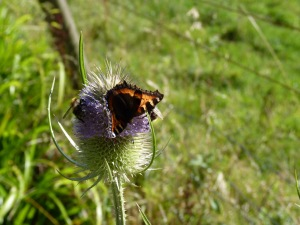 A small tortoiseshell butterfly and two carder bees on a teasel