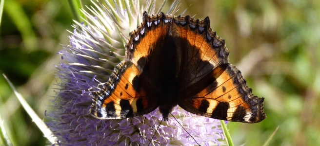 Small tortoishell on teasel